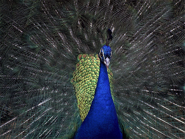 peacock-good-attention-ration