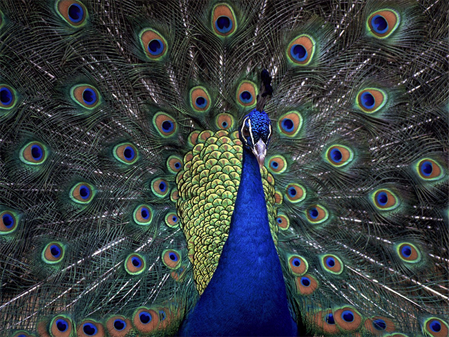peacock-poor-attention-ratio